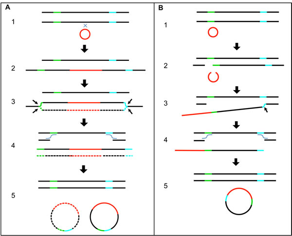 Proposed Mechanistic Models of HPV Recombining with the Human Genome and Excising.
