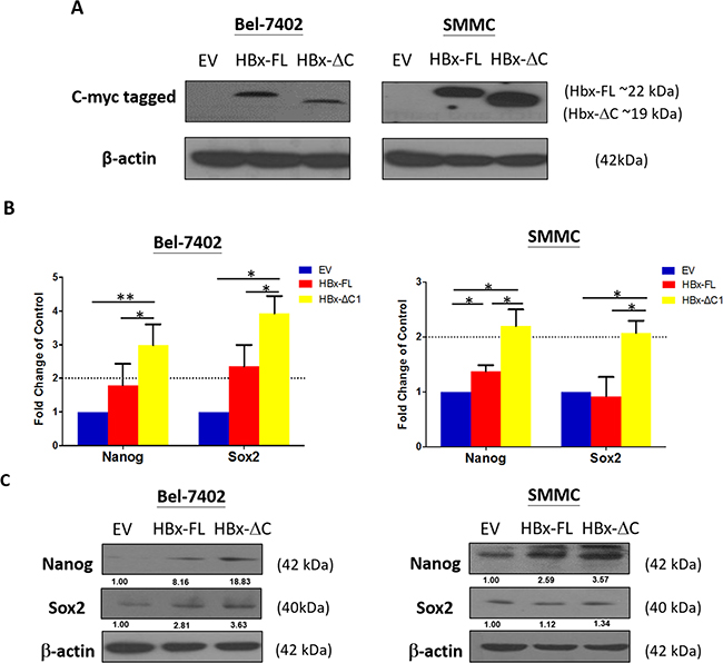 HBx-ΔC1 expressing cells increased expression of stemness-related genes.