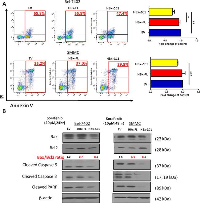 HBx-ΔC1 enhanced the resistance to sorafenib-induced apoptosis.