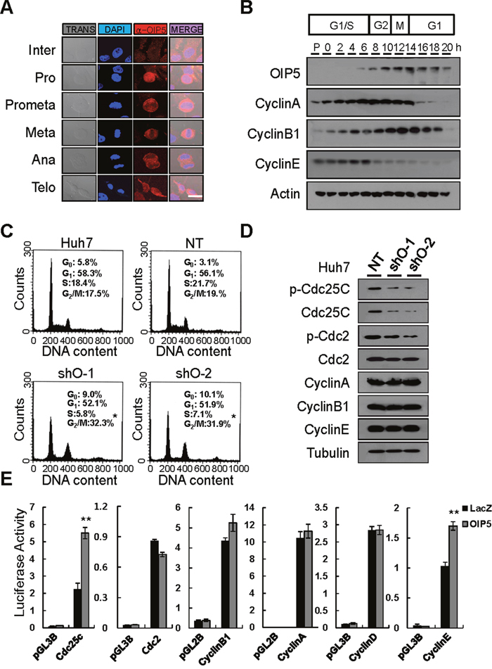 Analysis of the expression of OIP5 during cell cycle progression.