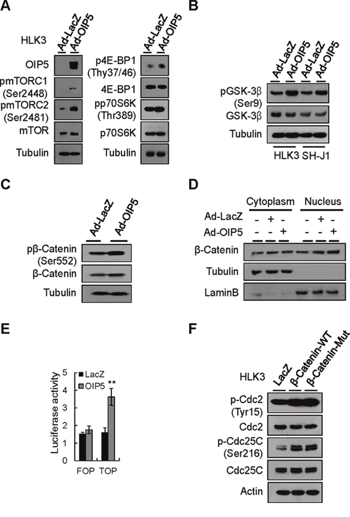 Activation of the mTORC1 and β-catenin signaling pathways by OIP5.