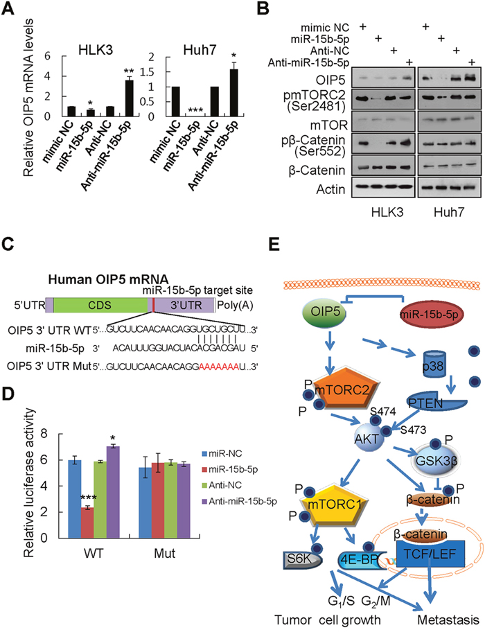 OIP5 is a direct target of miR-15b-5p.