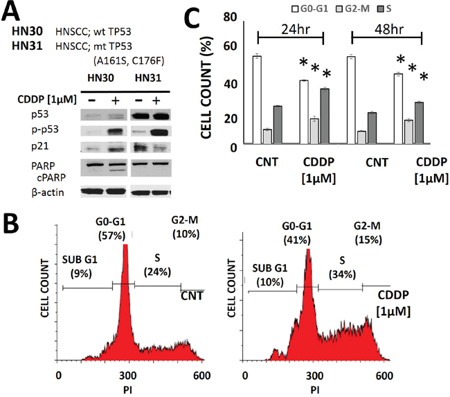 Cisplatin activates p53 and induces cell cycle arrest.