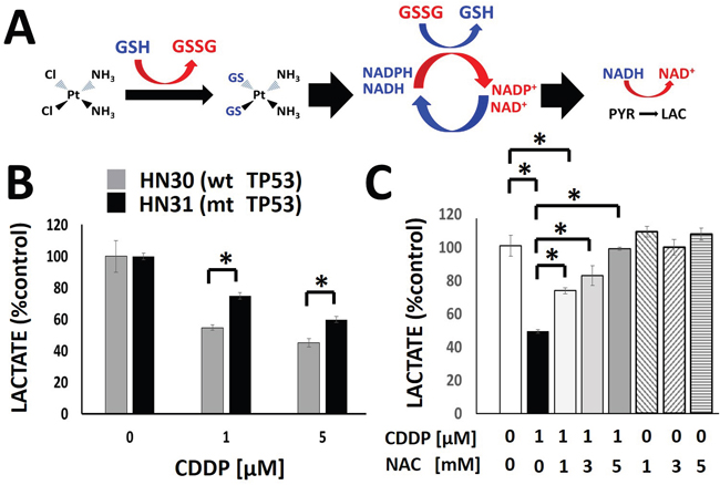 Cisplatin triggers a rapid, concentration dependent decrease in cellular lactate production.