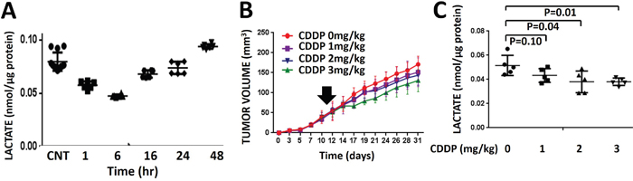 Cisplatin-induced lactate perturbations are transient and correlate with effects on growth delay.
