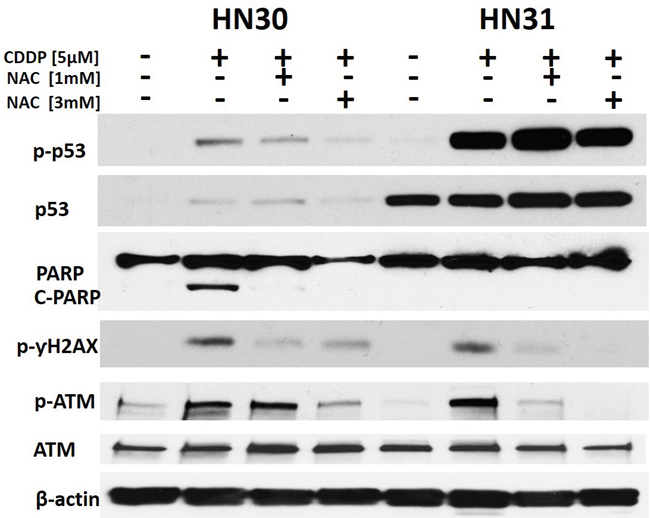 Cisplatin effects on p53 phosphorylation and DNA damage are reversed by a free radical scavenger.
