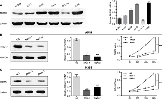 Depletion of TRIM47 inhibited the proliferation of NSCLC cells.