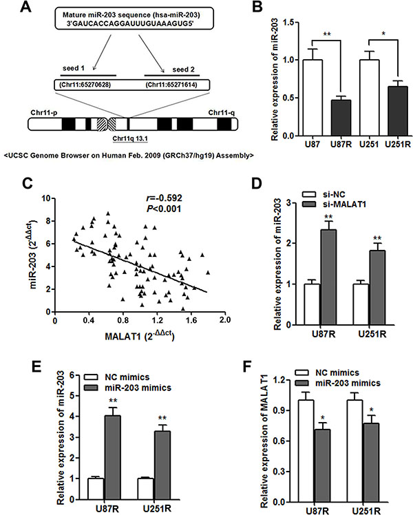 MALAT1 negatively regulates miR-203 expression in GBM cells.