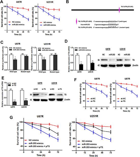 miR-203 re-sensitizes TMZ resistant cells through directly targeting TS.