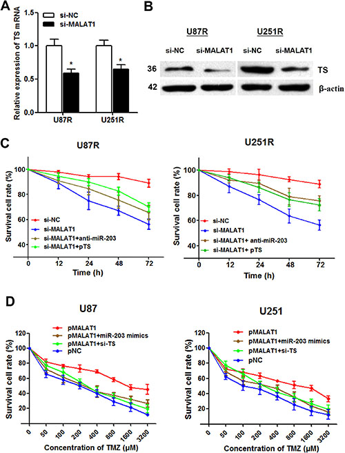 MALAT1 induces TMZ resistance through down-regulating miR-203 and promoting TS expression.