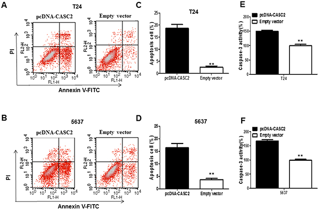 The overexpression of lncRNA CASC2 augmented the apoptosis of bladder cancer cells.