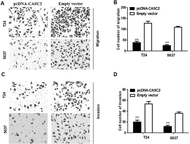 Overexpressed CASC2 reduced migration and invasion of bladder cancer cells.