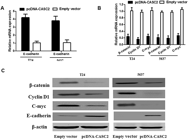 Effect of CASC2 on Wnt/β-catenin signaling pathway in bladder cancer cells.