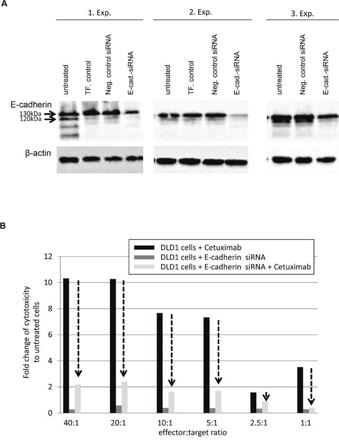 Down-regulation of E-cadherin abrogates response to Cetuximab in DLD1 cells.