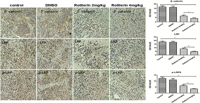 The expression of β-catenin, LRP6, and p-LRP by immunohistochemistry staining in xenograft tissues.