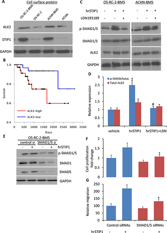 Activation of STIP1-ALK2-SMAD1/5 signaling in bone metastatic RCC tumor cells.