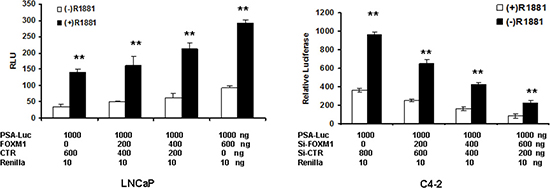 FOXM1 regulates PSA enhancer/promoter activity in the presence or absence of androgen.