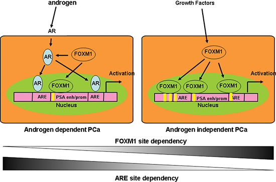Schematic model of FOXM1 and AR cooperation in the transcriptional regulation of androgen-responsive genes in AD and AI PCa cells.