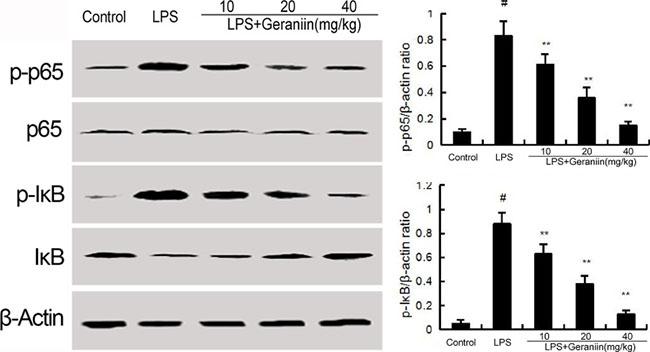 Geraniin inhibits LPS-induced NF-κB activation.