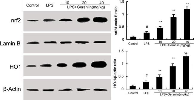Effects of geraniin on Nrf2 signaling pathway.