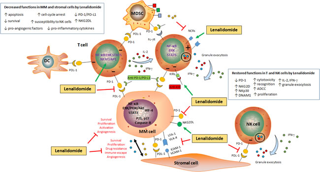 Schematic representation of the impact of Lenalidomide on MM cell survival and immune escape.