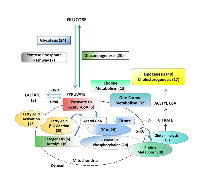 Metabolic pathways assessed in benign tissue, primary hormone-naive prostate cancer and patient-derived hormone-naïve xenograft models.