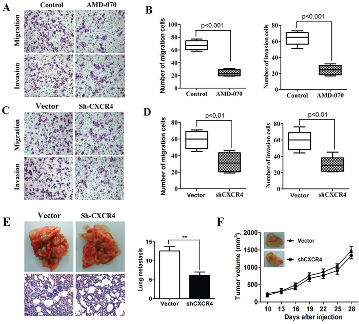 High propensity of invasion and metastasis of CXCR4 mediated ECSCs.