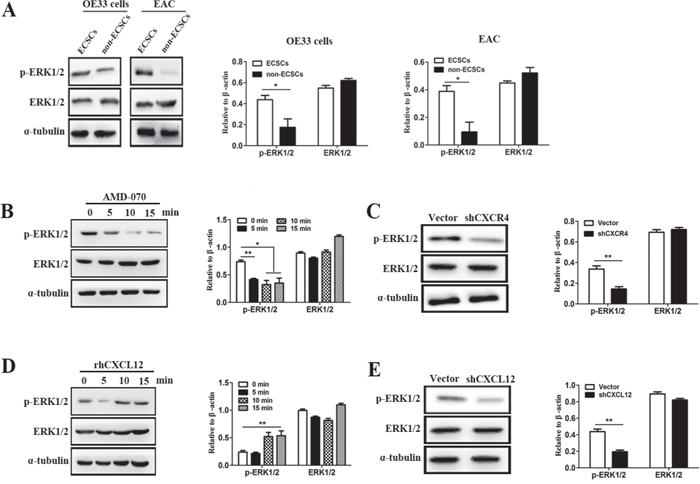 CXCL12-CXCR4 chemokine axis was of vital importance to the activation of ERK1/2 signal pathway on ECSCs.