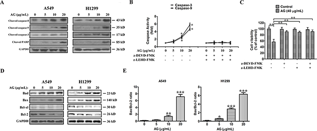 AG-induced apoptosis is mediated through the caspase-dependent apoptotic pathway in NSCLC cells.
