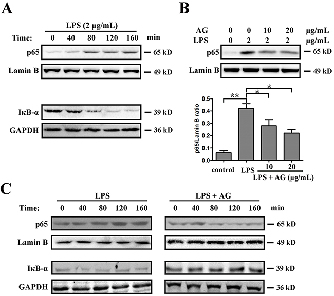 AG inhibits LPS-induced NF-κB activation.