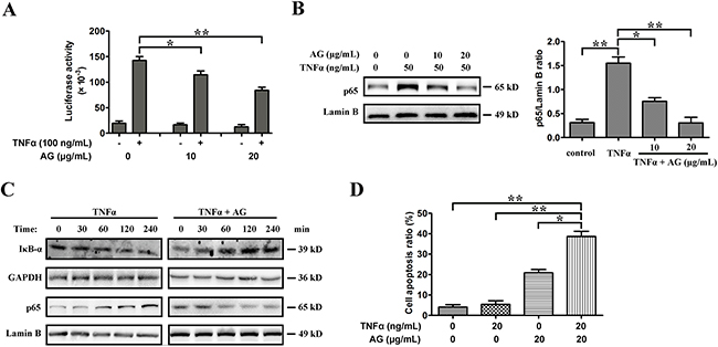 AG sensitizes A549 cells to TNFα-induced apoptosis by inhibiting NF-κB activity.