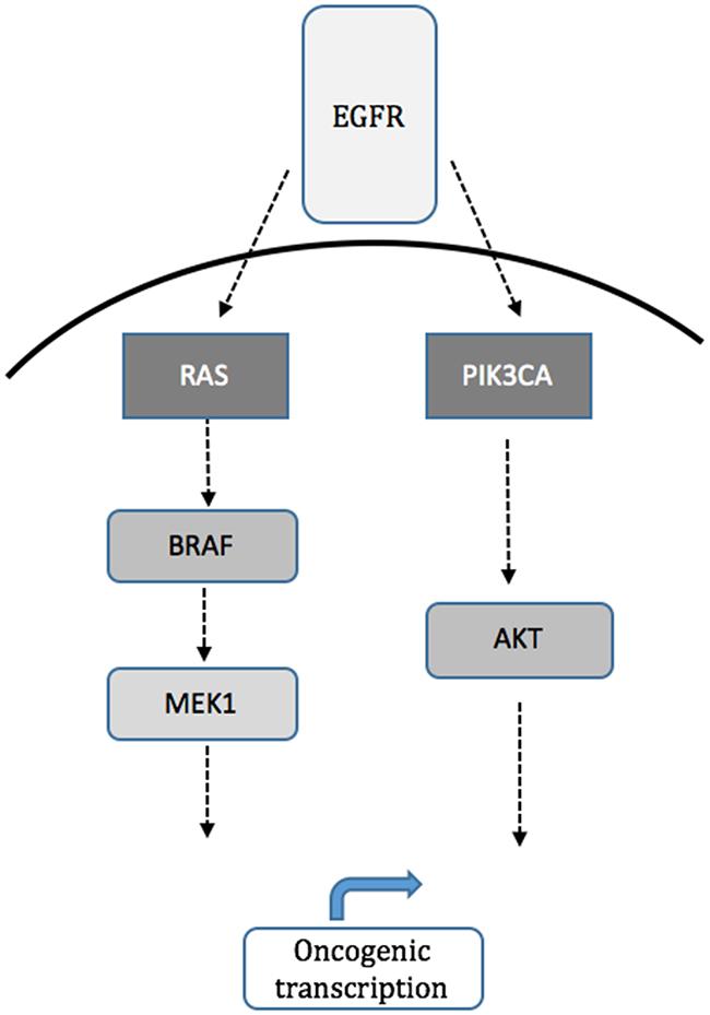 Schematic of MAPK (RAS/RAF/MEK) and PI3K (PIK3CA, AKT1) signaling pathways downstream of EGFR.