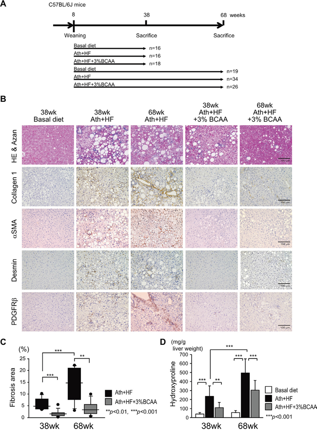 Histological improvement in the liver of Ath+HF diet mice by BCAA supplementation.