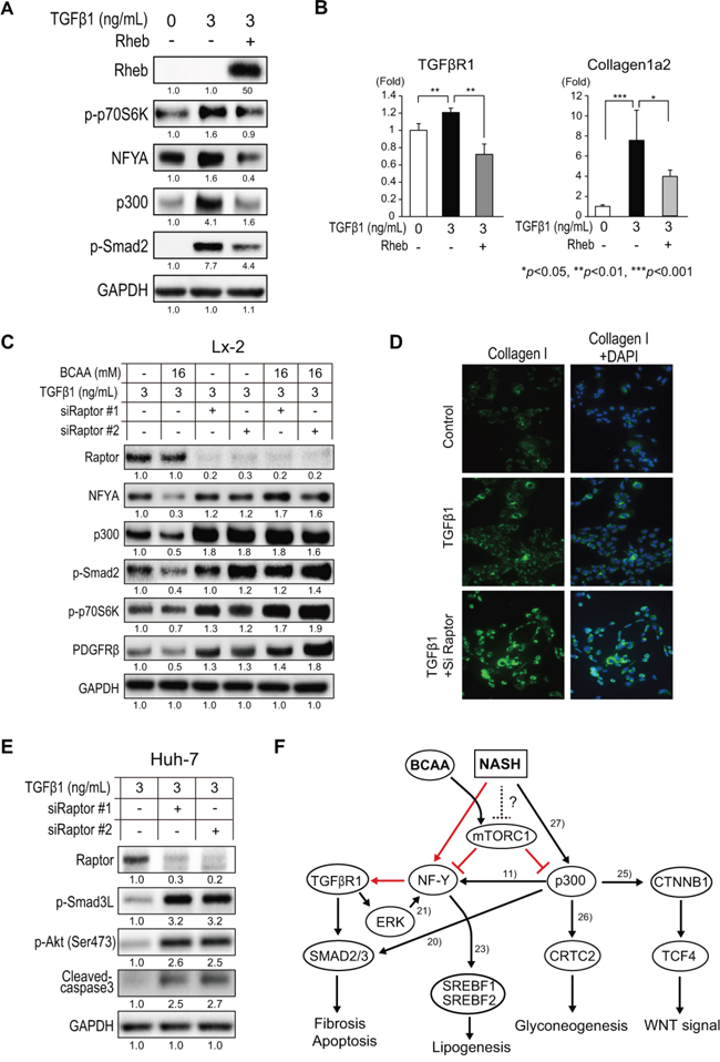 Repression of TGF-β1 signaling by BCAA and mTORC1 activity.