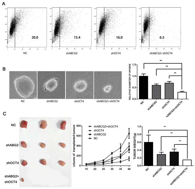Downregulating ABCG2 and OCT-4 inhibits CD133 expression, sphere formation, and tumorigenic ability.