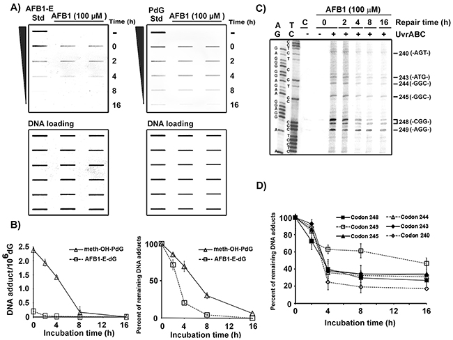 Repair kinetics of AFB1-induced DNA damage in the overall genomic DNA and in the coding strand of p53 gene exon 7 in human hepatocytes.