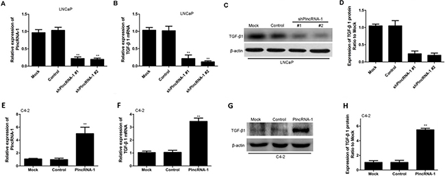 TGF-β1 expression in LNCaP and C4-2 cells after silencing and overexpression of PlncRNA-1.