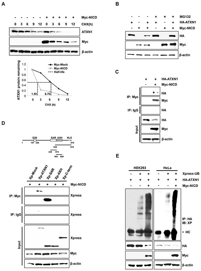NICD induce ubiquitination and degradation of ATXN1.
