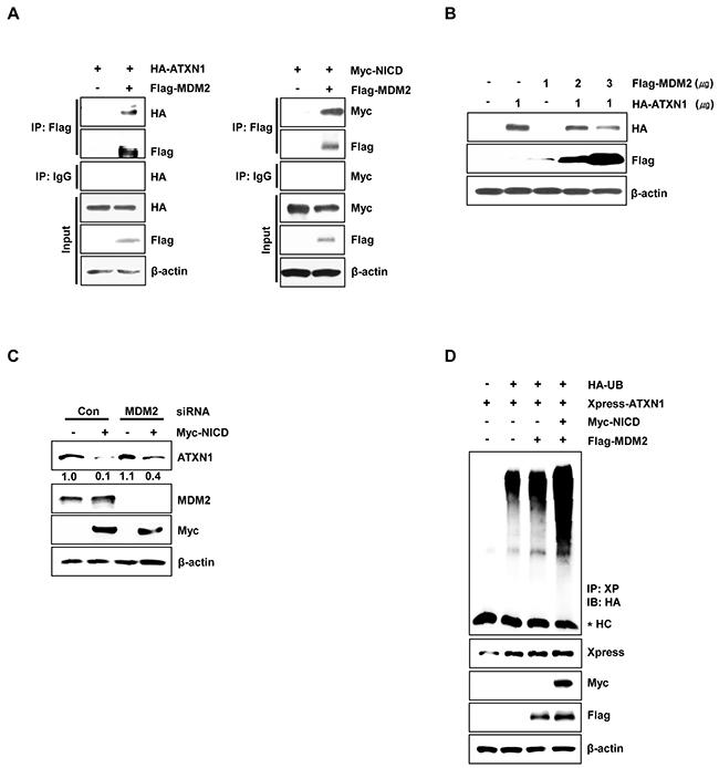 MDM2 promotes ubiquitination and degradation of ATXN1.