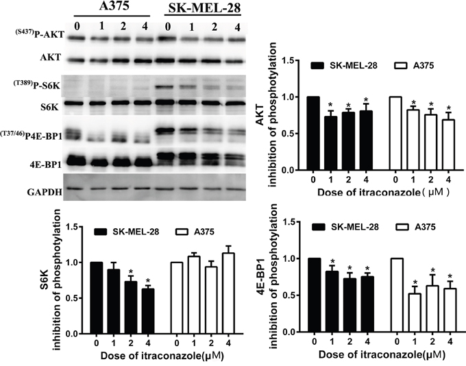 Effect of itraconazole on mTOR pathway in melanoma cells.