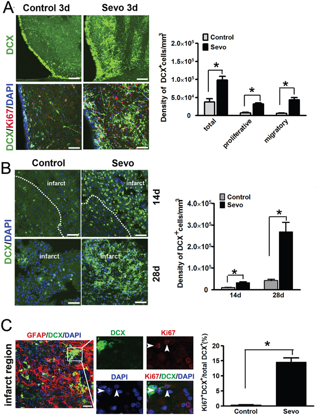 Sevoflurane preconditioning expanded the pool of DCX+ cells in the SVZ and accelerated their migration into the infarct.