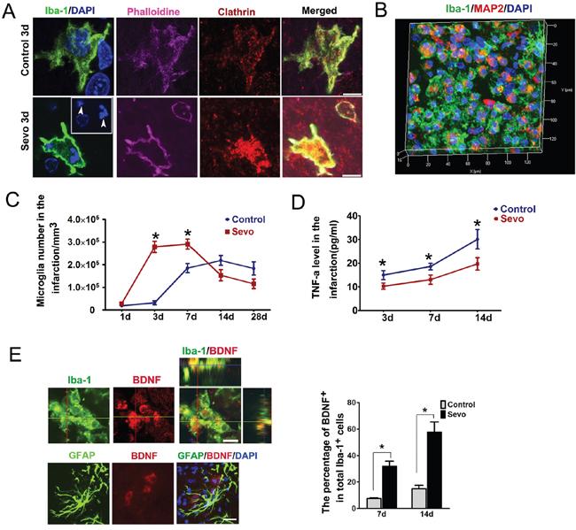 Sevoflurane preconditioning strengthened microglial phagocytosis and secretion of BDNF activities.