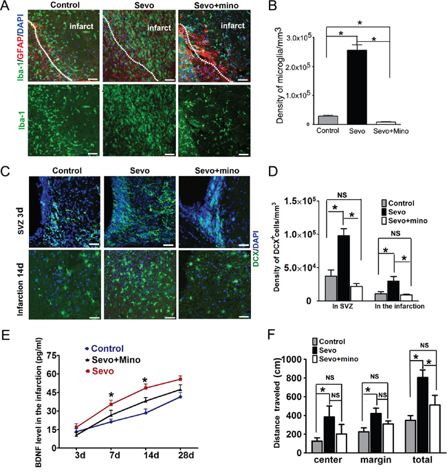 Inhibition of microglia activity by minocycline decreased DCX+ cells proliferation and migration.