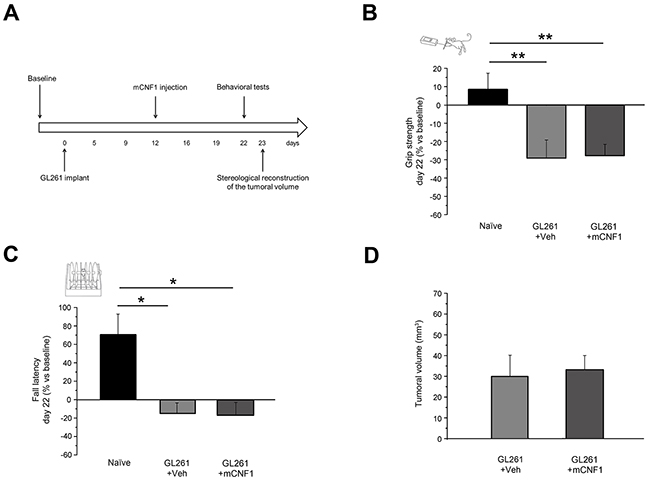 Mutated CNF1 (mCNF1) did not exert any beneficial effect on motor capabilities of glioma-bearing mice.