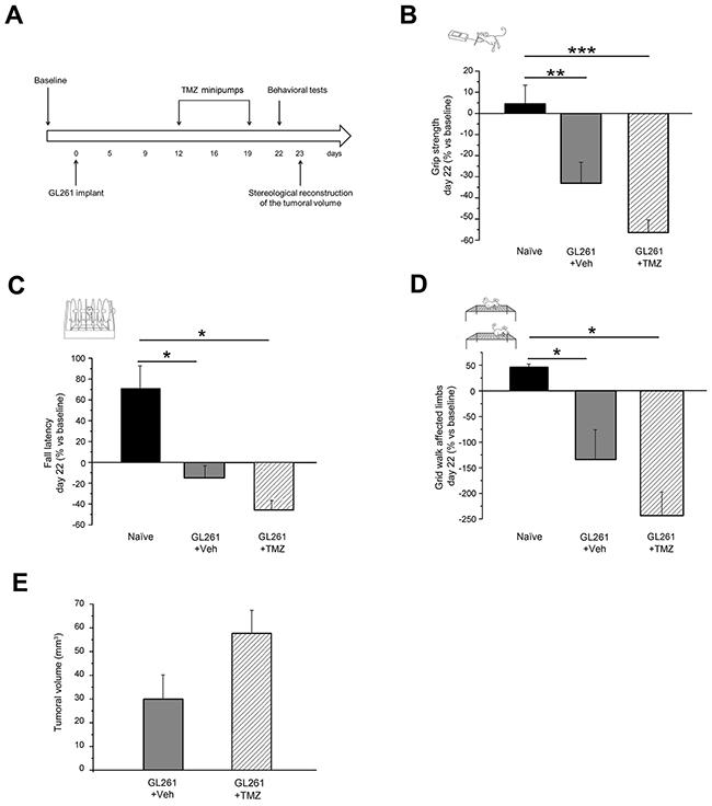 No effect of late TMZ treatment on motor capabilities of glioma-bearing mice.
