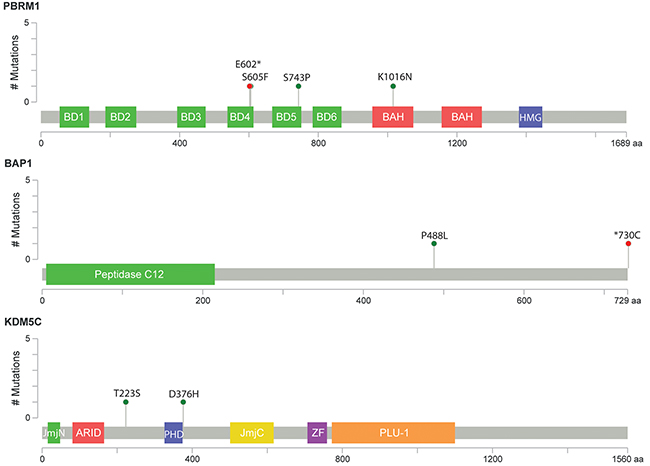 Schematic representation of relative positions of potential mutations within KDM5C, BAP1 and PBRM1 transcripts.