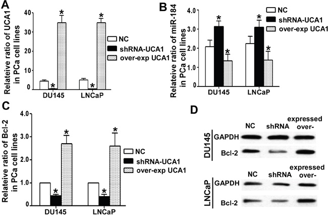UCA1 regulated miR-184 and its target.