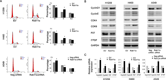 Rab11a promotes cell cycle progression and related proteins.