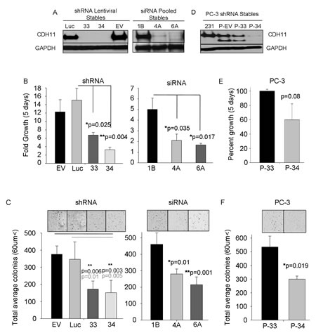 CDH11 regulates colony growth and proliferation of MDA-MB-231 breast cancer cells and PC-3 prostate cancer cells.