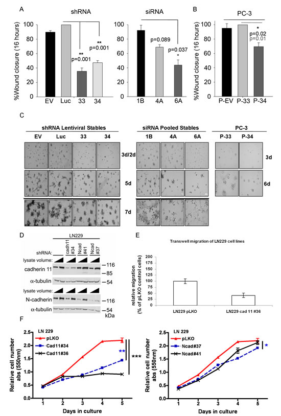 CDH11 knockdown significantly inhibits migration and mediates colony formation of MDA-MB-231 breast and PC-3 prostate cancer cells and is required for the growth and invasion of LN229 glioblastoma cells.